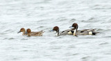 Northern Pintails - Anas acuta