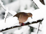 Mourning Dove - Zenaida macroura (in the snowstorm)