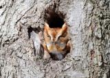 Eastern Screech Owl - Megascops asio