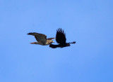 Red-tailed Hawk being mobbed by a crow