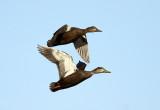 American Black Ducks - Anas rubripes