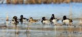 Ring-necked Ducks - Aythya collaris