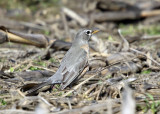 American Robin - Turdus migratorius