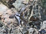Peregrine Falcons - Falco peregrinus (mating)
