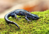 Blue-spotted Salamander - Ambystoma laterale