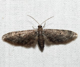 Eupithecia sp. (3318)