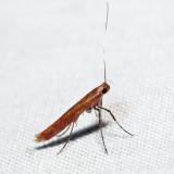 0609 – Cherry Leaf-cone Caterpillar Moth – Caloptilia invariabilis *