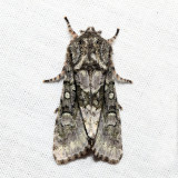 10019 - Figure-eight Sallow - Psaphida resumens