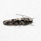1828 - Coleotechnites quercivorella *