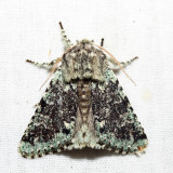 10007 - Major Sallow - Feralia major