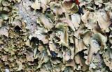 Umbilicaria mammulata (Smooth Rock Tripe)