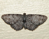 6570 - Four-Barred Gray - Aethalura intertexta