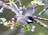 Black-capped Chickadee - Poecile atricapillus (catching caterpillars from apple blosoms)