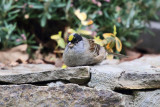 Golden-crowned Sparrow - Zonotrichia atricapilla