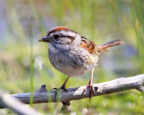 Swamp Sparrow - Melospiza georgiana