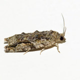 3230 - Maple Twig Borer - Proteoteras aesculana *
