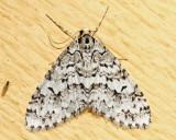 7639 - Scribbler Moth - Cladara atroliturata
