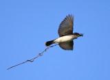 Eastern Kingbird - Tyrannus tyrannus (carrying nest material)