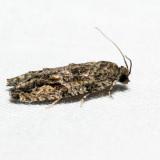 3230 - Maple Twig Borer - Proteoteras aesculana*