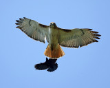 Red-tailed Hawk chased by a Red-winged Blackbird