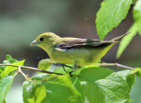 Scarlet Tanager - Piranga olivacea (female)