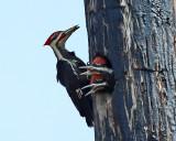 Pileated Woodpecker - Dryocopus pileatus