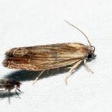 2908 – Eucosma radiatana *