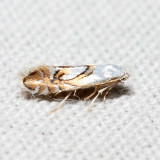Phyllonorycter sp.
