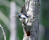Tree Swallows - Tachycineta bicolor (mating)