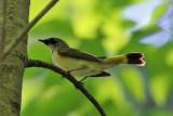 American Redstart - Setophaga ruticilla (immature male)