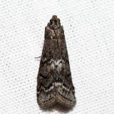 5926 - Elm Leaftier - Canarsia ulmiarrosorella *