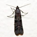 6001 - Ephestiodes infimella *