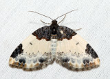 7307 – White-ribboned Carpet – Mesoleuca ruficillata