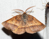 6832 - Yellow-washed Metarranthis - Metarranthis obfirmaria