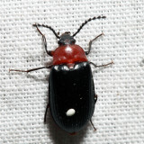 Pseudocistela amoena
