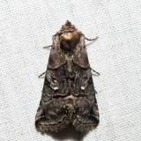 8881 - Spectacled Nettle Moth - Abrostola urentis