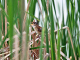Marsh Wren - Cistothorus palustris (singing from deep inside the reeds)