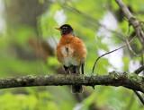 American Robin - Turdus migratorius (brood patch showing)