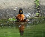 American Robin - Turdus migratorius (taking a bath)
