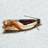 3365 - Ancylis spiraefoliana complex *