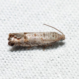 3110 - Eucosmini no genus (Eucosma) gomonana *
