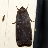 11003.1 - Large Yellow Underwing - Noctua pronuba