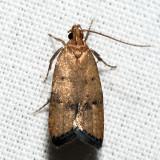 Psilocorsis sp.