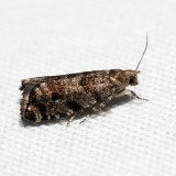 3338 - European Spruce Needleminer Moth - Epinotia nanana *