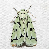 9281 - Green Marvel - Acronicta fallax