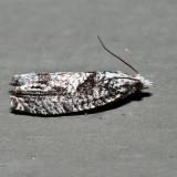 3334 – Maple Trumpet Skeletonizer Moth – Catastega aceriella *