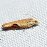 3257 - Pseudexentera costomaculana *