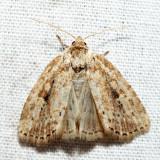 9436 – Northern Cordgrass Borer – Photedes panatela
