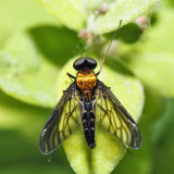 Golden-backed Snipe Fly - Chrysopilus thoracicus (male)