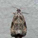 2776 - Woolly-backed Moth - Olethreutes furfuranum *